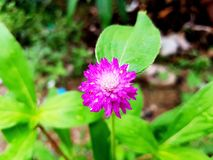 Gomphrena globosa is purple royalty free stock images