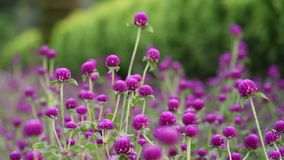 Gomphrena globosa stock video footage