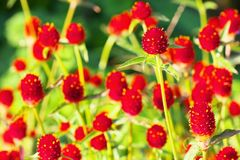 Gomphrena haageana, Strawberry Fields. An image of nature royalty free stock images