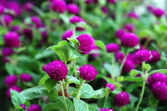 Gomphrena. Lots of Gomphrena blossoms with fresh green leaves in garden Royalty Free Stock Images