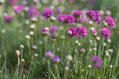 Gomphrena Royalty Free Stock Photos