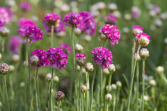 Gomphrena Stock Photo