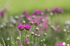 Gomphrena Royalty Free Stock Photography