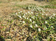 Gomphrena weed or Wild globe everlasting flower Stock Image