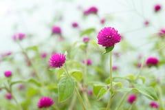 Gomphrenaglobosa, purpere bloemen stock afbeeldingen