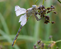 Gomphus pulchellus Royaltyfria Bilder