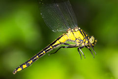 Gomphus Vulgatissimus / Club-tailed Dragonfly Royalty Free Stock Images
