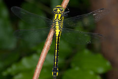 Gomphus vulgatissimus / Club-tailed Dragonfly Royalty Free Stock Photo