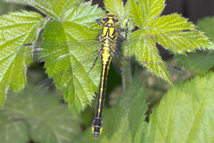 Gomphus Vulgatissimus / Club-tailed Dragonfly Royalty Free Stock Photos
