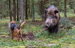 Hunting on wildboar. Gonchak hound, a National dog breed of Belarus, hunting on wild boar in green forest Stock Photography