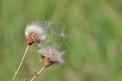 Gone Thistle in the Summer Wind with Ladybird Royalty Free Stock Photos