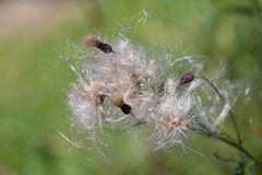 Gone Thistle in the Summer Wind with Ladybird Stock Image