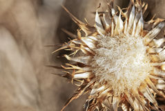 Gone to seed Royalty Free Stock Photo