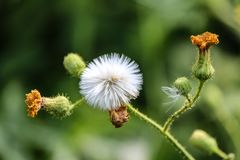 Gone to Seed, The End of a Dandelyon stock photos