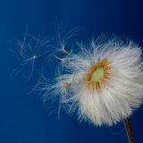 Gone with the Wind. Weightless and graceful seeds fly under the breath of the breeze Stock Photos
