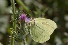 Gonepteryx帕特拉,帕特拉,从可西嘉岛,法国的帕特拉蝴蝶 免版税图库摄影