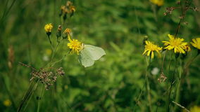 The Gonepteryx butterfly drinks nectar and flies stock video