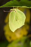 Gonepteryx cleopatra  butterfly Stock Images