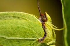 Gonepteryx cleopatra  butterfly Royalty Free Stock Photo