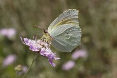 Gonepteryx cleopatra, Cleopatra butterfly from Southern France Stock Images