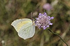 Gonepteryx cleopatra, Cleopatra butterfly from Southern France Stock Photo
