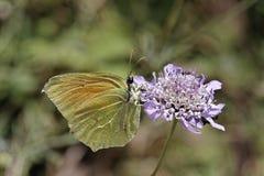 Gonepteryx cleopatra, Cleopatra, Cleopatra butterfly Royalty Free Stock Photography