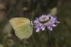 Gonepteryx cleopatra, farfalla di Cleopatra dalla Francia del sud Fotografia Stock Libera da Diritti