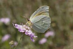 Gonepteryx cleopatra, farfalla di Cleopatra dalla Francia del sud Immagini Stock