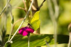 Gonepteryx cleopatra on Purple Flower Stock Image