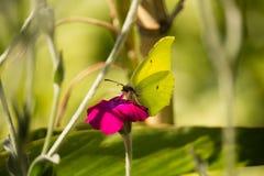 Gonepteryx cleopatra on Purple Flower Royalty Free Stock Image