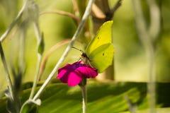 Gonepteryx cleopatra on Purple Flower Royalty Free Stock Photo