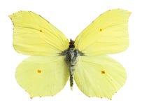 Gonepteryx Cléopâtre Image libre de droits