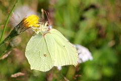 Gonepteryx Rhamni或硫磺蝴蝶 免版税库存照片