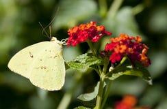 Free Gonepteryx Rhamni Stock Photo - 11976360