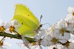 Gonepteryx Rhamni Stock Photography