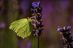 Gonepteryx rhamni Zdjęcie Stock