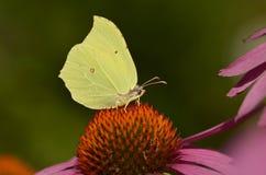 Gonepteryx Rhamni Butterfly Royalty Free Stock Image