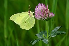 Gonepteryx rhamni Royalty Free Stock Photos