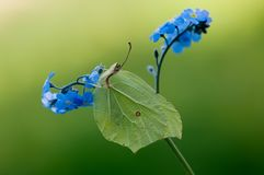 Gonepteryx rhamni butterfly on a blue flower stock image