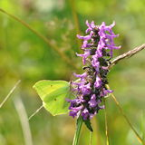Gonepteryx rhamni butterfly on a purple flower. Typical butterflies of middle european fields and meadows Stock Photos