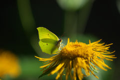 Gonepteryx rhamni - close up with butterfly Royalty Free Stock Photo