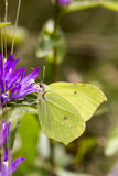 Gonepteryx rhamni, Common Brimstone, Brimstone on Clustered bell flower Royalty Free Stock Image