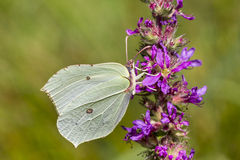 Gonepteryx rhamni, Common Brimstone, Brimstone on Purple loosestrife (Lythrum salicaria), Germany. Europe Stock Photo