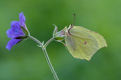 Gonepteryx rhamni is a diurnal butterfly. From the Pieridae family on a blue flower. One of the most common types of family stock photos