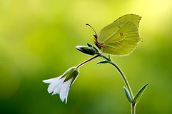 Gonepteryx rhamni is a diurnal butterfly. From the Pieridae family on a white flower. One of the most widespread species of the family stock photography