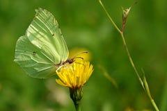 Gonepteryx rhamni Stock Photo