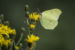 Gonepteryx rhamni (known as the Common Brimstone) Royalty Free Stock Images