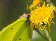 Gonepteryx rhamni. Picture of a Butterfly Drinking the nectar of a flower. The butterfly is a Gonepteryx rhamni Royalty Free Stock Photography