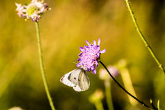 Gonepteryx rhamni on purple flower. Picture of a Butterfly Drinking the nectar of a flower. The butterfly is a Gonepteryx rhamni Royalty Free Stock Image