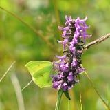 Gonepteryx-rhamni Schmetterling auf einer purpurroten Blume Stockfotos